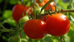 Чем подкормить помидоры, чтобы быстрее краснели