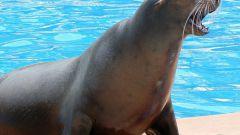 Кто такие морские львы?