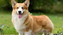 Порода собак корги: описание, отзывы, цены