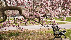 Дерево магнолия: особенности посадки и ухода