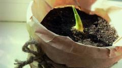 Как растет имбирь: выращивание имбиря в домашних условиях