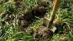 Нужно ли перекапывать сидераты осенью под зиму