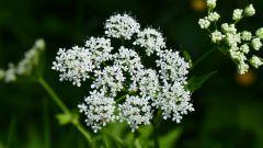 Трава сныть: внешнее описание, полезные свойства, рецепты
