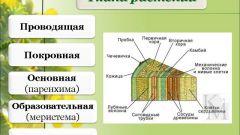 Ткани растений и их краткая характеристика