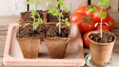 Помидоры: уход за рассадой