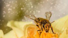 Что такое пчелиная перга и чем она полезна
