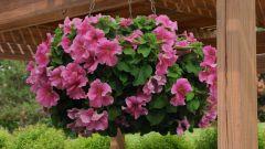 Когда сеять петунию и другие цветы в 2019 году по лунному календарю