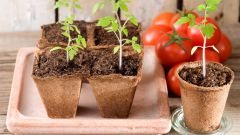 Когда сеять на рассаду помидоры, перцы и баклажаны в 2019 году по лунному календарю