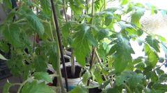 Когда сажать помидоры на рассаду в 2019 по Лунному календарю