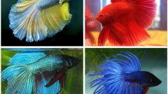 Аквариумная рыба петушок: содержание и уход