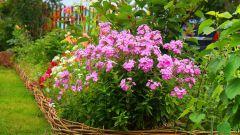 Уход за флоксами в саду весной