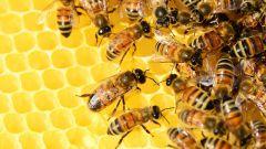 Чудо-лекарство: настойка пчелиного подмора