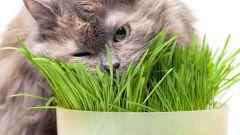 Как вырастить траву для кошек в домашних условиях