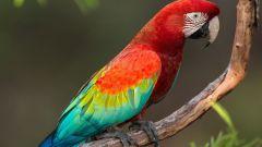 Говорящий попугай: как быстро научить птицу разговаривать?