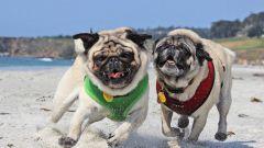 Как правильно играть и гулять с щенком мопса