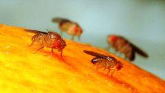 Как избавиться от фруктовой мухи