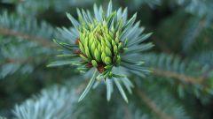 Полезные и лечебные свойства еловой хвои