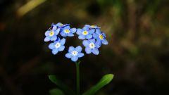 Незабудка: символизм и магические свойства цветка