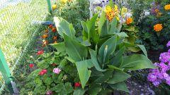 Как вырастить канны в цветнике и дома