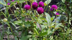 Гомфрена шаровидная: выращивание из семян