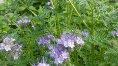 Фацелия - полезный цветок для огорода