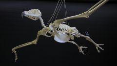 Скелет птицы: особенности строения