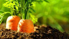 Как подготовить грядку под морковь