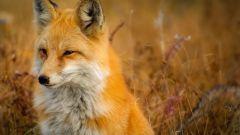 Лисица обыкновенная: описание, фото, классификация