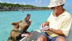 С кем еще поплавать свиньям на Багамах?