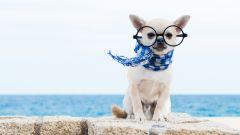 Как правильно выбрать щенка чихуахуа