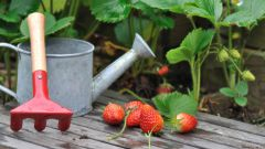 Внекорневая подкормка земляники: рецепты