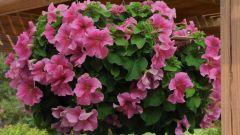 Цветок ампельный: названия и фото