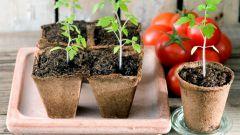 Как посеять семена на рассаду помидоров