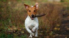 Как дрессировать щенка джек-рассел-терьера в домашних условиях