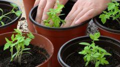 Как и когда сажать помидоры на рассаду