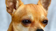Как и зачем надо чистить уши собаке
