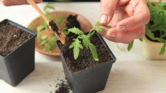 Как правильно пикировать рассаду помидоров
