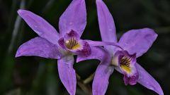 Почему нельзя держать дома орхидеи