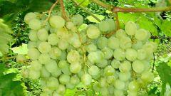 Сорт винограда «Восторг»: основные характеристики и описание сорта
