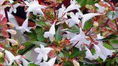 Абелия крупноцветковая: описание и правила ухода