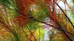 Порыжевшие ветви на хвойных: 3 простых шага к быстрому восстановлению