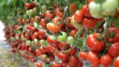 Плохие и хорошие «соседи»: рядом с чем нельзя и можно сажать помидоры