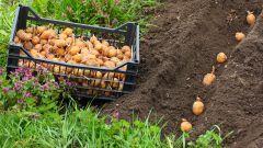 Как сажать картошку, чтобы урожай был обильным