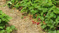 Чем подкормить клубнику ранней весной и чем обработать