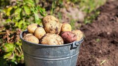 Как собрать урожай картофеля на две недели раньше: хитрость наших предков