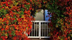 Декоративные вьющиеся растения для сада
