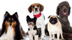 Породы собак для содержания в квартире