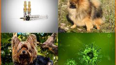 Как правильно провести вакцинацию собаки. Виды вакцин
