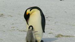 Папы пингвины, страусы, шимпанзе: кто лучший отец в животном мире?