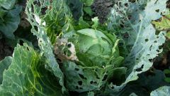 Как бороться с капустной тлей и крестоцветной блошкой домашними средствами